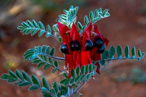 The Sturt Pea Community Magazine